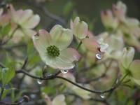 Dogwood in Rain