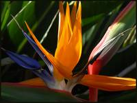 Bird of Paradise In Full Flight