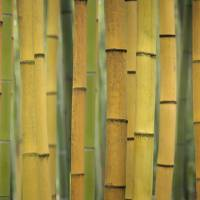 Yellow Bamboo Scape Art Prints & Posters by Cora Niele