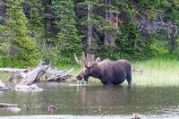 Water Feeding Moose