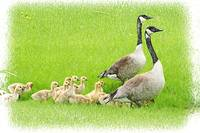 2 adult Canada Geese with a Gaggle of Goslings