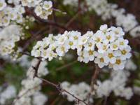 White blossom flowers