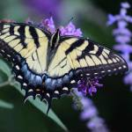"""Eastern Tiger Swallowtail Butterfly 2015"" by KsWorldArt"