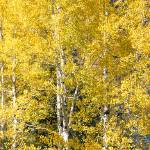 """Aspen Tree Narrow_JF60486"" by FindleyPhoto"
