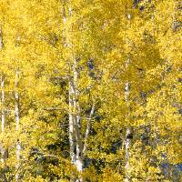 Aspen Tree_JF60486-test 15x42-AdjBrightDown Art Prints & Posters by Joseph Findley