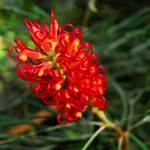"""Grevillea banksii-Australian Native"" by DavidBleakley"