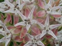 Showy Milkweed Wildflowers Up Close