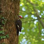 """Pileated Woodpecker"" by jones3006"
