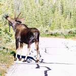 """Bull Moose In The Road"" by lightningman"