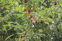Ripe plums on the branches of plum