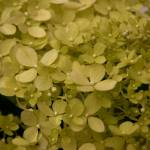 """Yellow Hydrangeas"" by LurenaHuffman"