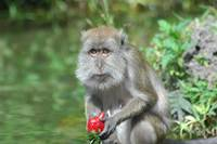 monkey with strawberry