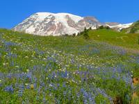 Wildflowers In Full Bloom On Mount Rainier
