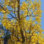"""Yellow Aspen"" by rjhphotos"