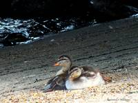 Ducklings on the Beach