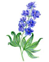 Delphinium watercolor flowers