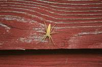 Spider on a Barn Wall
