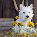"""Westie with Flowers"" by fielding"