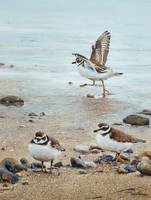 Semipalmated Plovers Parade The Beach
