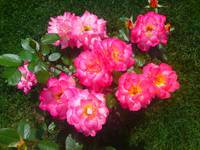 Pink Roses Flower Patch