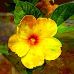 """YELLOW HIBISCUS"" by norska43"