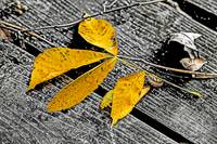 Yellow Leaves on Dock