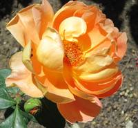 Apricot rose