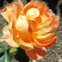 apricot rose Art Prints & Posters by Ann Williams