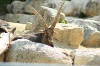 Ibex in a Zoo