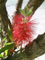 Bottle Brush Callistemon 7