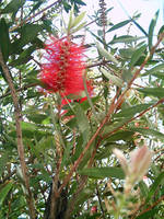 Bottle Brush Callistemon 8