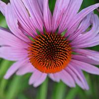 Center of Echinacea