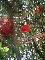 Bottle Brush Callistemon 5