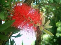 Bottle Brush Callistemon 1