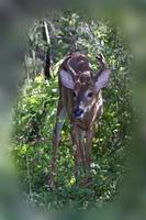 Whitetail Deer - Buck in Velvet - 6 Pointer
