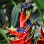 """Banded Purplewing Butterfly Trio on Heliconia"" by KsWorldArt"