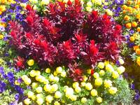 Celosia Marigold Petunia Flower Patch