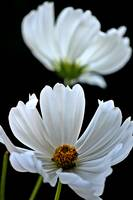 Pair of White Cosmos With Black