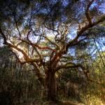 """""""Almighty Oak"""" by blance"""