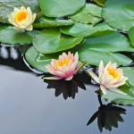 """Three Hardy Waterlily Flowers"" by LightHeart"