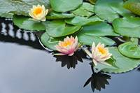 Three Hardy Waterlily Flowers