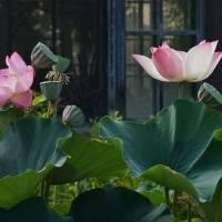 Lotus Lovelies Art Prints & Posters by Byron Varvarigos