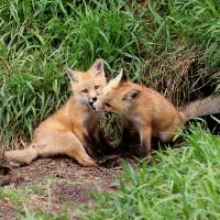 Red fox kits Art Prints & Posters by Etched Memories Photo - Lori Tordsen