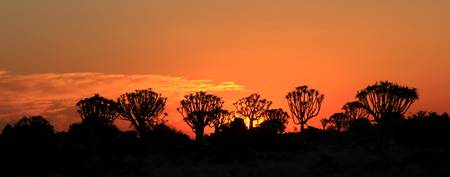 Quiver Tree Forest at Sunset