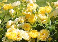 Sweet Yellow Roses