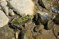 Spotted Green Frog in Mud