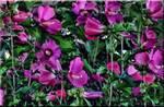 063 Purple flower bush by micspics444