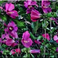 063 Purple flower bush Art Prints & Posters by Mikki Cucuzzo