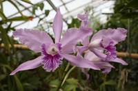 Greenhouse Ruffly Orchids