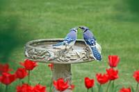 Blue Jay Lovebirds and Red Tulips